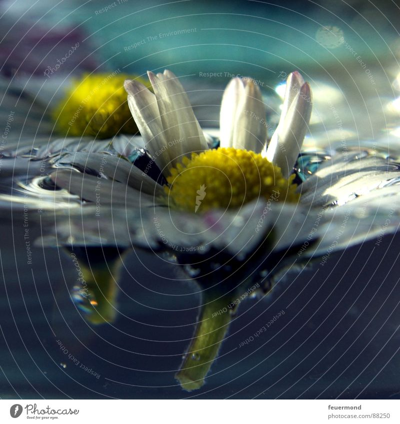Schwimm Blümchen, schwimm! Wasser Blume Pflanze Erholung springen Blüte Frühling Garten Wassertropfen Wellness Gänseblümchen Teich Rettung Erfrischung retten ertrinken