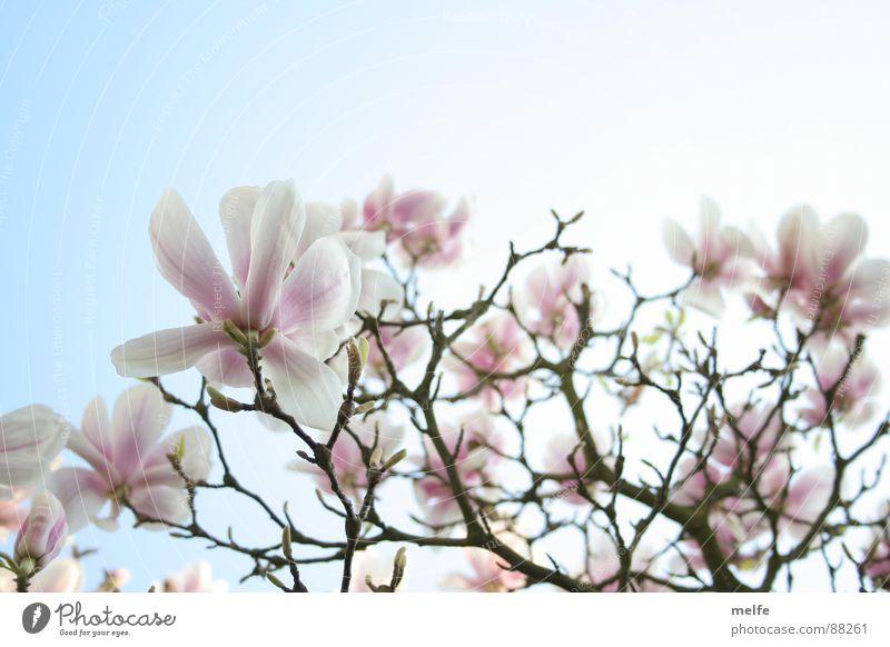 Magnolienbaum  Nr.1 Magnoliengewächse Baum Blüte weiß Frühling Frühlingstag schön Himmel Ast roamantisch