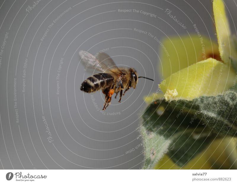 fleißige Biene Natur schön grün Sommer Tier Umwelt gelb Blüte Frühling grau Garten fliegen braun ästhetisch genießen Flügel