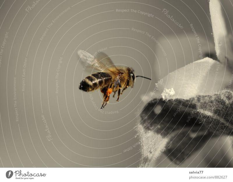 Pollen sammeln Natur Pflanze Sommer Blume Blatt Tier Umwelt Blüte Frühling grau klein Gesundheit fliegen braun Arbeit & Erwerbstätigkeit ästhetisch