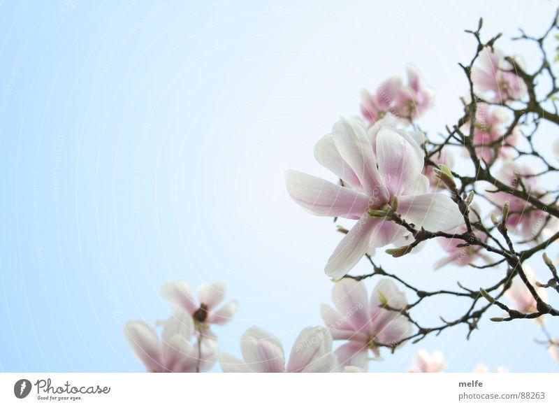 Magnolienbaum Nr.2 schön Himmel weiß Baum Blüte Frühling Ast Blume Magnoliengewächse Frühlingstag