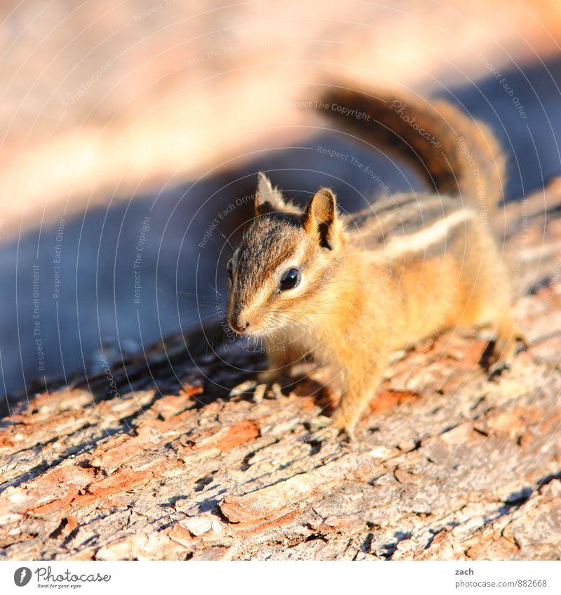 Kindchenschema Baum Tier Wald Gesicht braun Wildtier beobachten niedlich Fell Tiergesicht Fressen füttern Schwanz Eichhörnchen Nagetiere Streifenhörnchen