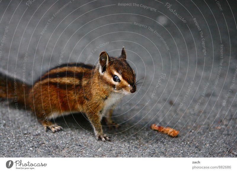 ohne Model-Release Tier grau braun Wildtier beobachten niedlich Fell Tiergesicht Fressen Pfote kuschlig Kanada füttern Eichhörnchen Nagetiere Krallen
