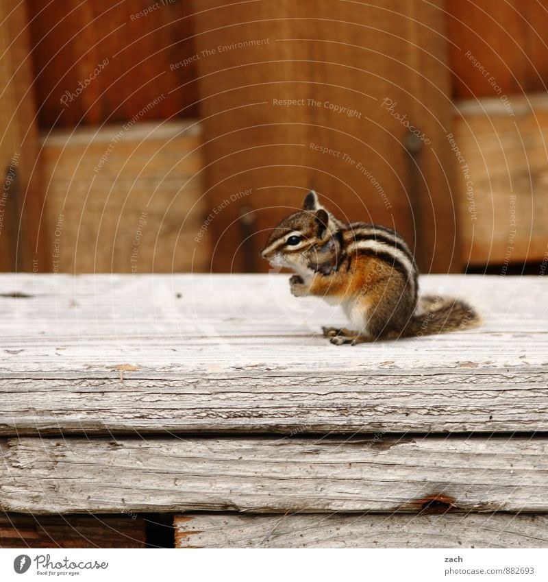 Hörnchen Tier Garten braun Wildtier sitzen niedlich Streifen Fell Hütte Schwanz Eichhörnchen Nagetiere Streifenhörnchen