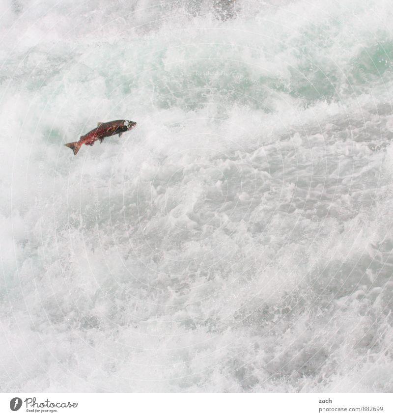 Mit ganzer Kraft Wasser Sommer Tier Berge u. Gebirge Herbst Küste grau Schwimmen & Baden fliegen springen Wildtier wandern Wassertropfen Seeufer Fluss Fisch