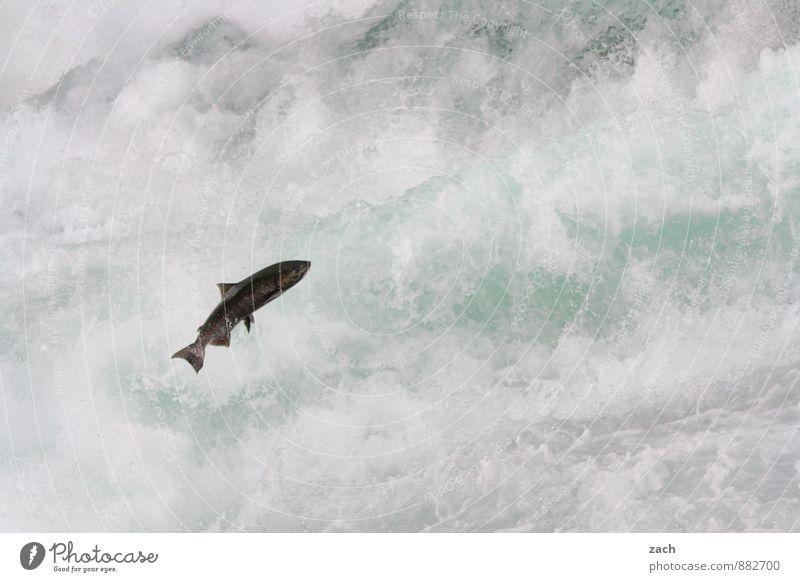 Mit ganzer Kraft Fisch Tier Wasser Wassertropfen Sommer Herbst Berge u. Gebirge Wells Gray Park Küste Seeufer Flussufer Wasserfall Stromschnellen Wildtier Lachs
