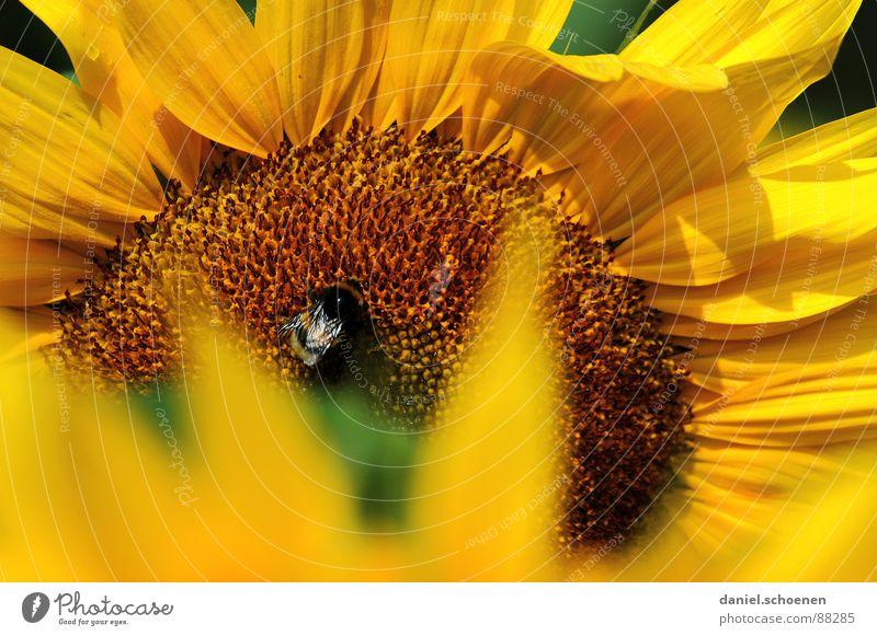 sonnengelb Staubfäden Sonnenblume Sommer Frühling ökologisch Blüte Pflanze Blütenblatt Biene Honig braun Nektar Blauer Himmel Wärme Natur Pollen Detailaufnahme