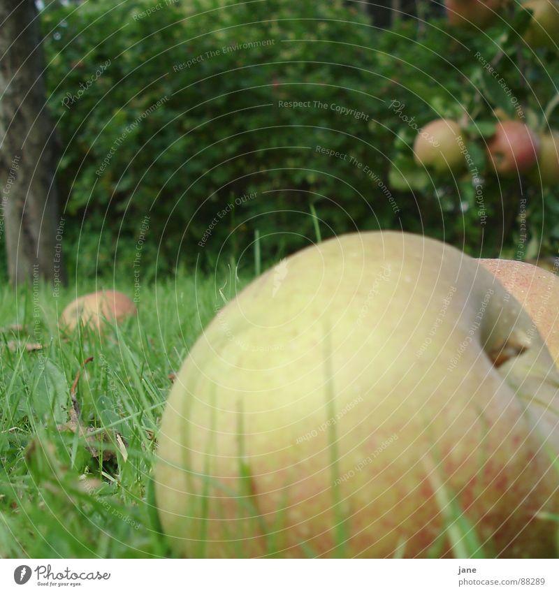 Fallobst rot Herbst Gras Garten Frucht Apfel saftig Apfelbaum Apfelernte