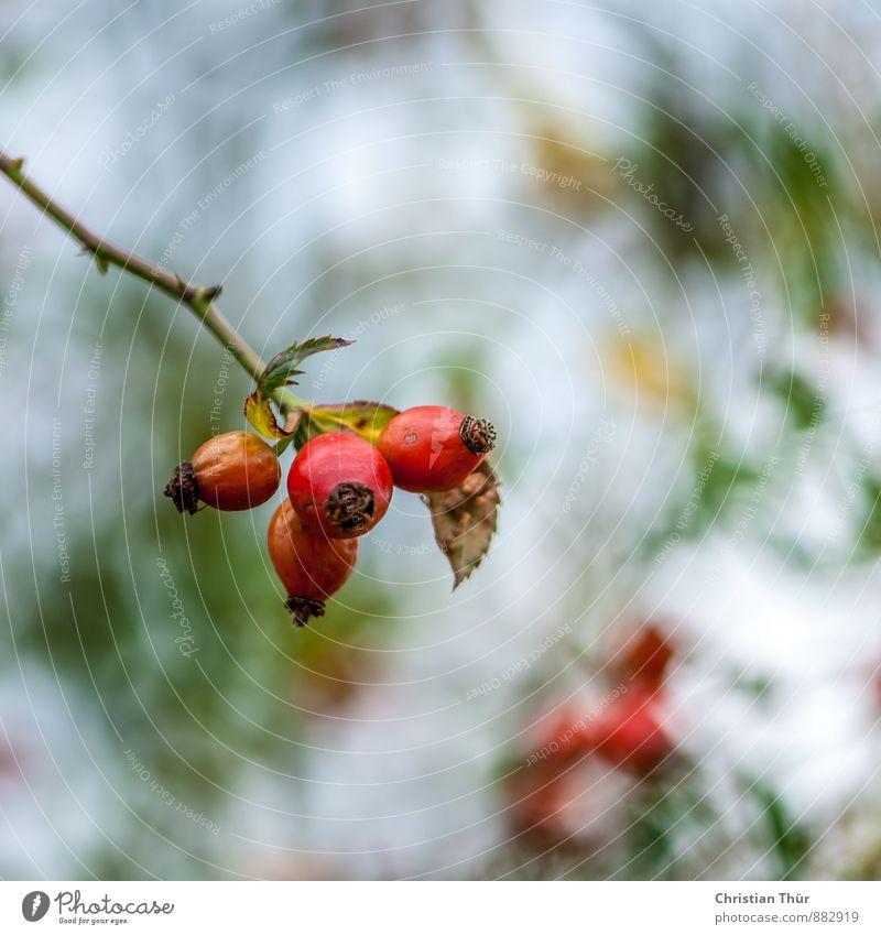 Hagebutten - Spätsommer Wellness Ferien & Urlaub & Reisen Umwelt Natur Pflanze Tier Sommer Schönes Wetter Sträucher Wiese Feld Blühend Erholung leuchten wandern