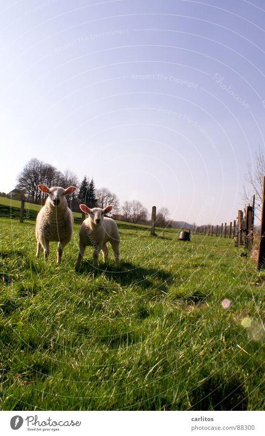 Lammbraten ganz frisch ... grün Wiese Gras Frühling Feste & Feiern 2 Ernährung niedlich süß Neugier Zusammenhalt Zaun Tradition Säugetier Schaf dumm