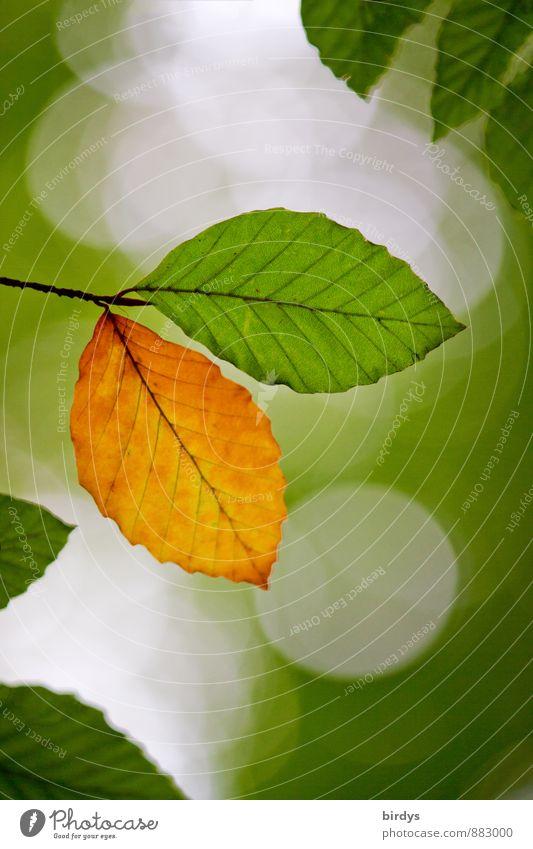Individualität Sommer Herbst Blatt Buchenblatt Zweig Herbstfärbung Herbstlaub alt leuchten ästhetisch frisch positiv schön gelb grün Beginn Farbe Natur