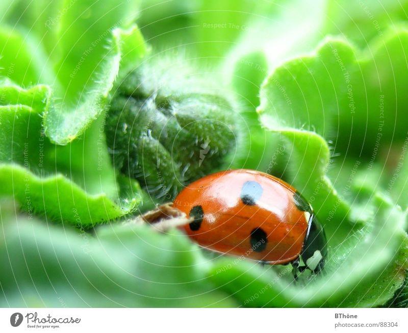 Marientarzan im Blattdschungel Marienkäfer Schiffsbug Siebenpunkt-Marienkäfer rot grün entdecken Wicht Nutztier Insekt Hoffnung ladybug ladybeetle Käfer Glück