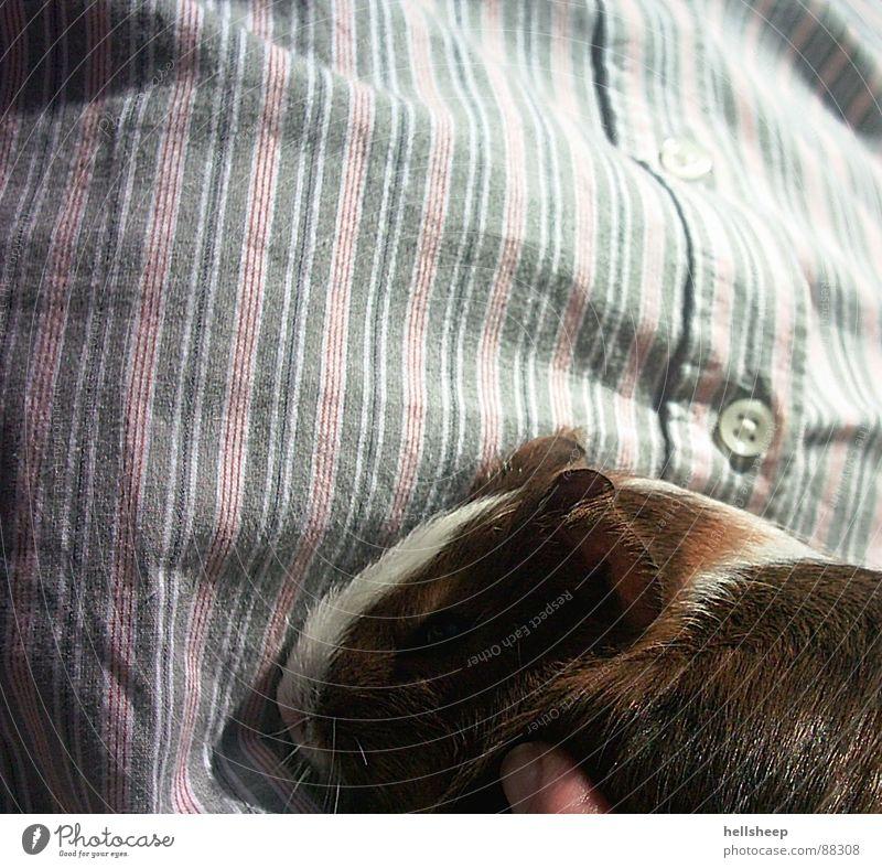 Meerschwein & Streifen weiß Tier braun niedlich Hemd Säugetier Haustier Knöpfe Nähgarn Naht Meerschweinchen