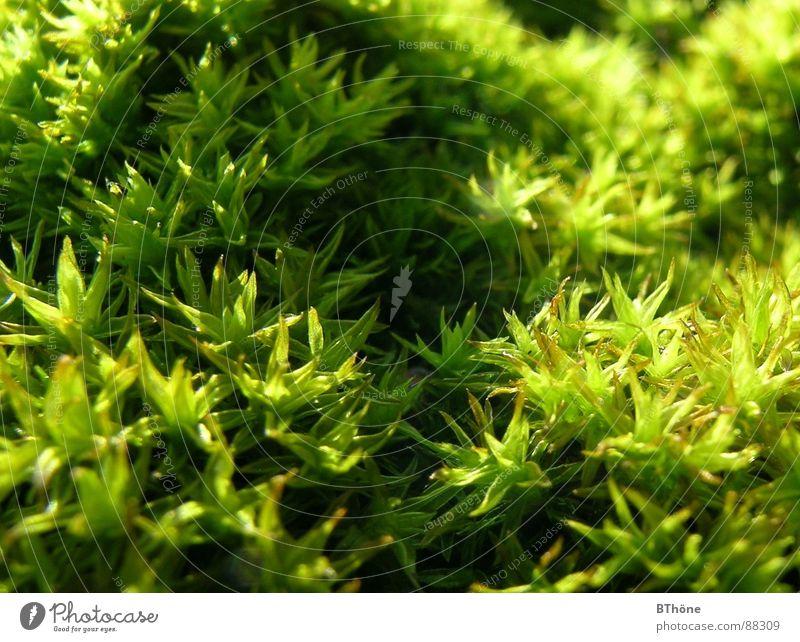 Moosi grün Pflanze Farbe Stern (Symbol) Schönes Wetter Moos Bodendecker Licht & Schatten