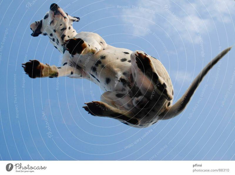 Hund von unten - 2 fliegen Punkt Fleck Säugetier Haustier Tier Glasscheibe gepunktet Dalmatiner getupft