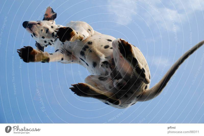Hund von unten - 3 fliegen Punkt Fleck Säugetier Haustier Glasscheibe gepunktet Tier Dalmatiner getupft