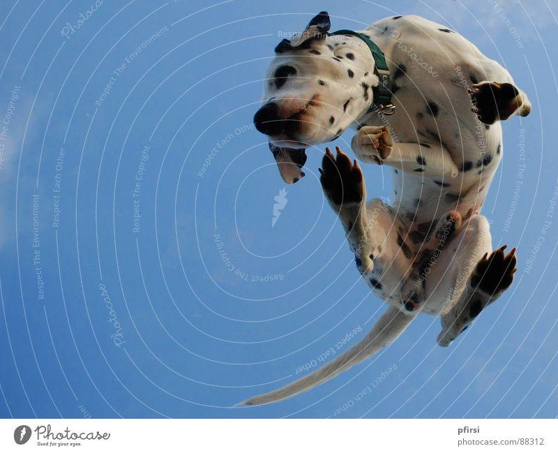 Hund von unten - 4 Hund fliegen Punkt Fleck Säugetier Haustier Glasscheibe gepunktet Tier Dalmatiner getupft