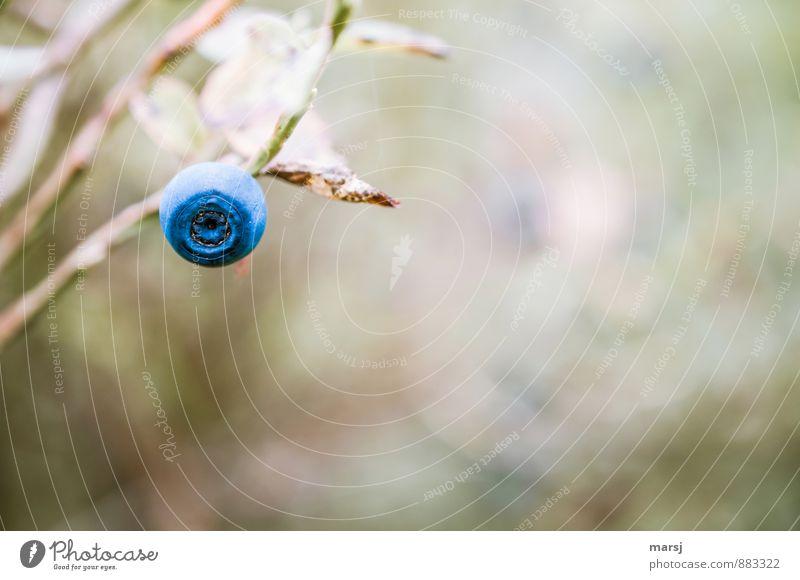 Hoibeeri Natur Herbst Pflanze Sträucher Wildpflanze Blaubeeren Beeren Kugel einfach gut natürlich süß blau einzeln 1 Farbfoto mehrfarbig Außenaufnahme