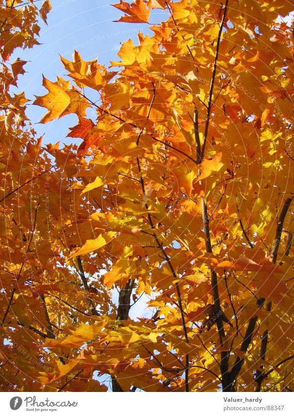 Herbstleuchten Natur Baum Herbst Ahorn Indian Summer leuchtende Farben