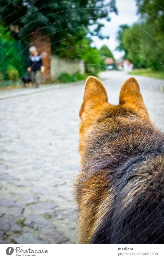 wachsam Gassi gehen Spaziergang Tierhaltung Straße Haustier Hund Fell Schäferhund Haushund 2 beobachten Blick Neugier loyal Tierliebe Wachsamkeit Schutz