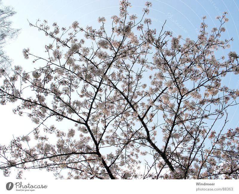 Kirschblüte I Himmel Natur Pflanze Baum Blume Frühling Blüte springen rosa Ast Zweig Blütenknospen Kirsche Bielefeld