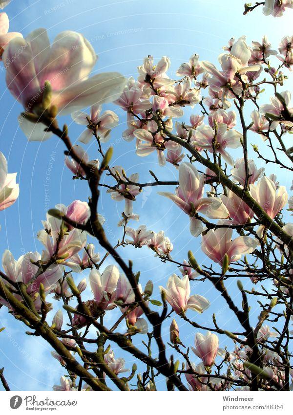 Magnolienbaum Baum Bielefeld Blume Blüte Blütenblatt Frühling Magnoliengewächse Pflanze rosa springen Himmel Ast Blühend easter flower Blütenknospen Natur tree