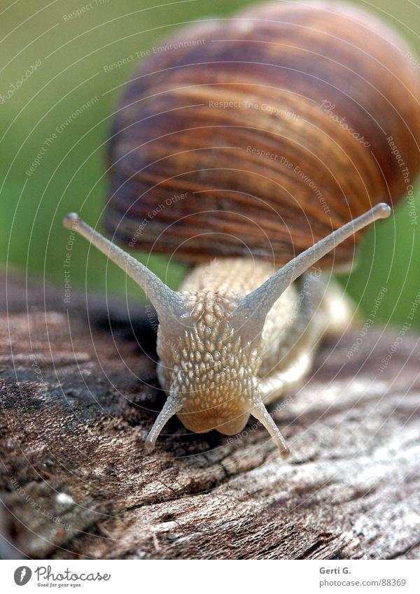 `o´ grün Tier Gefühle Holz braun Lebensmittel Haut Schnecke Glätte krabbeln Aussehen Fühler frontal Tastsinn Zwitter Schneckenhaus