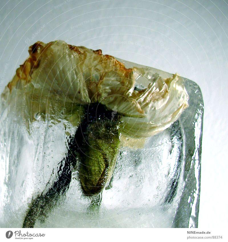 frozen poppy III Wasser weiß grün Winter gelb kalt Blüte Eis Wellen elegant Ordnung dünn zart Blühend Quadrat gefroren