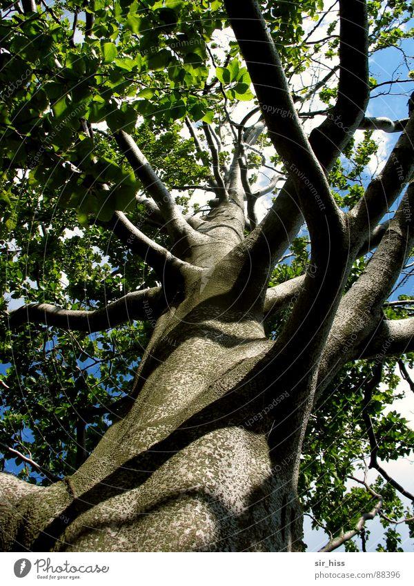 Verzweigung Baum 2 Sächsische Schweiz grün Frühling Umwelt Holz Wachstum Blatt Laubbaum Sommer Baumrinde Kraft Ast Natur Baumstamm hochgewachsen Trieb