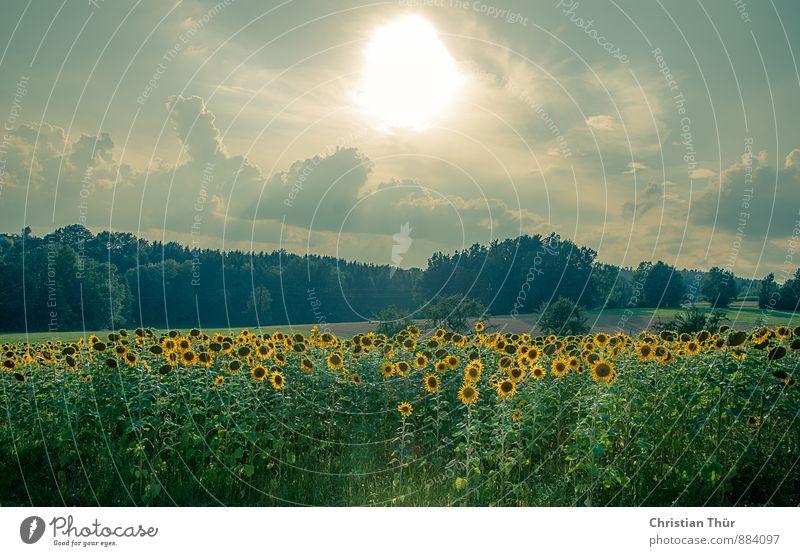 Sonnenblumenfeld Natur Ferien & Urlaub & Reisen Pflanze Sommer Baum Erholung Freude Umwelt Gesunde Ernährung Wiese Gras Glück Feld Zufriedenheit Sträucher