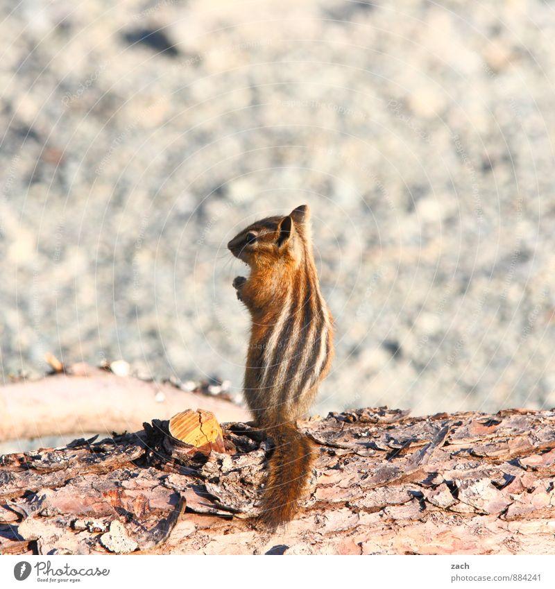auf Streife Baum Tier Wildtier Fell Nagetiere Streifenhörnchen Eichhörnchen 1 Holz beobachten Fressen füttern stehen niedlich braun grau possierlich