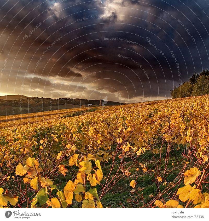 Das Böse kommt... Wein Kiedrich Wolken Weinberg Herbst dunkel gelb Sonnenuntergang bedrohlich Blatt Wald Berghang Gold Abend Rheingau böse Windzug Fahrstuhl