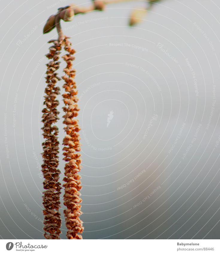 einsamer Haselnuss Natur Frühling Samen