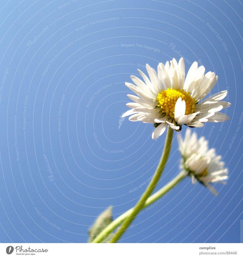 Margerite romantic poster I Natur Pflanze blau schön Sommer weiß Blume Einsamkeit gelb Liebe Frühling Wiese natürlich 2 Wachstum Wind
