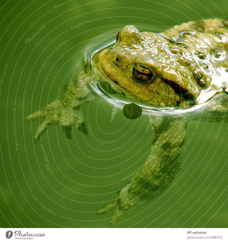 QUAK! See Teich Gewässer Froschlurche Lurch Kieme Lunge Kaulquappe grün Froschschenkel Froschkönig Märchen Unterwasseraufnahme tauchen Tier Lebewesen Fischteich