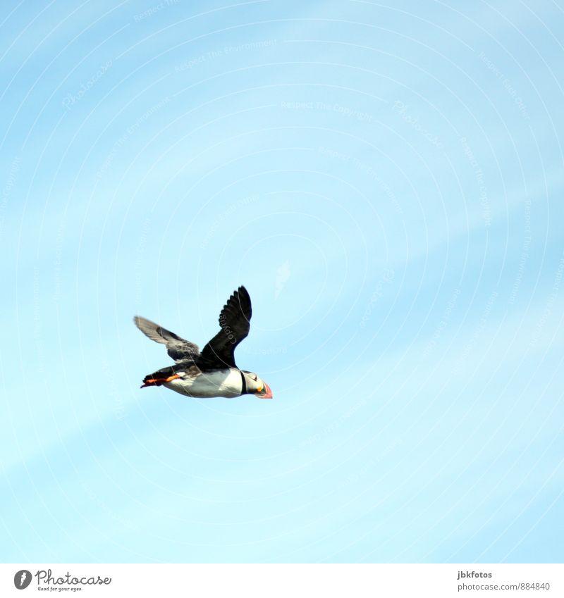 ISLAND / Puffin Himmel Natur blau Pflanze Sommer Tier Umwelt lustig natürlich Freiheit fliegen Vogel Luft Wildtier frei Insel