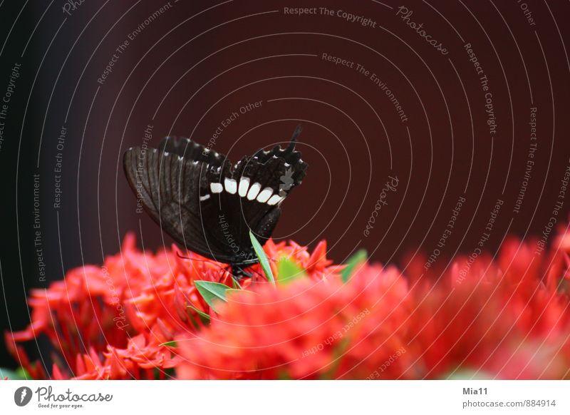 Hunger 2 Natur Pflanze Blume Blüte Tier Schmetterling Flügel 1 fliegen rot schwarz Essen Farbfoto Außenaufnahme Nahaufnahme Textfreiraum oben Tag Sonnenlicht