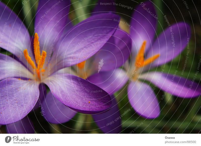 200 Blume Blüte Krokusse Pflanze Winter Frühling violett Wiese blau orange Stempel