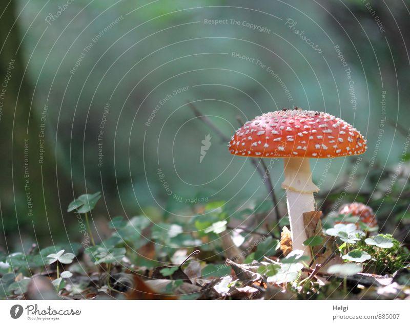 noch ein Rotkäppchen... Umwelt Pflanze Herbst Schönes Wetter Pilz Fliegenpilz Waldboden stehen Wachstum ästhetisch authentisch schön natürlich braun grau grün