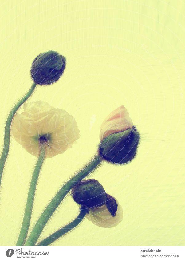 Flower Power IV Blume Freude gelb Blüte Glück rosa Hoffnung Wachstum Blühend Mohn Blütenknospen Pollen Optimismus Stempel Reifezeit