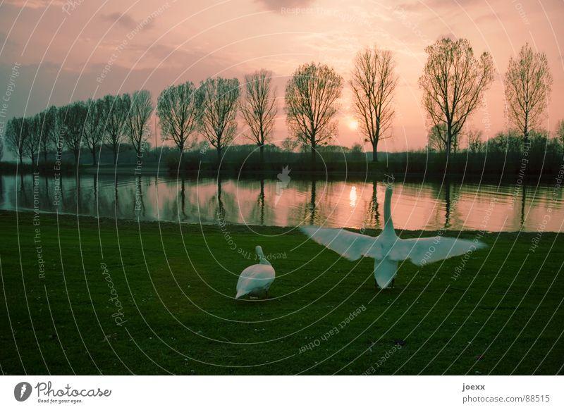 Wichtigtuer II Abenddämmerung Allee ausbreiten Baumreihe Wolken Entenvögel Erholung Flügel Höckerschwan Pappeln Promenade ruhig Schwan See Sonnenuntergang
