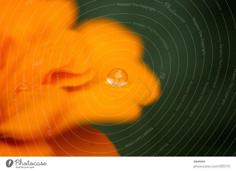 oranger Tropfen Blüte Blume Physik fantastisch Makroaufnahme Nahaufnahme Wasser Wassertropfen Kontrast Wärme