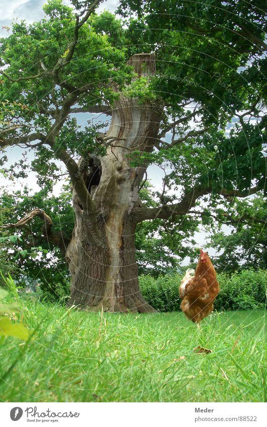 Picken Hühner Körner?! Haushuhn Hahn stolzieren Federvieh braun Osterei Baum Blatt eigenwillig Wiese saftig Gras grün Erholung ruhig Froschperspektive