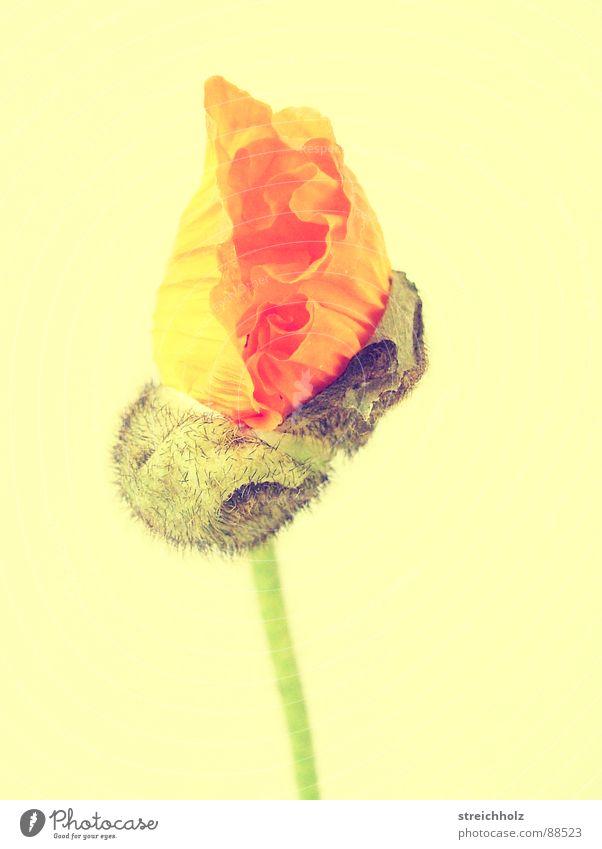 Flower Power V Blume Hoffnung Mohn Blüte Makroaufnahme abstrakt rosa gelb Optimismus Blühend Reifezeit Wachstum Stempel Pollen Nahaufnahme Freude Glück