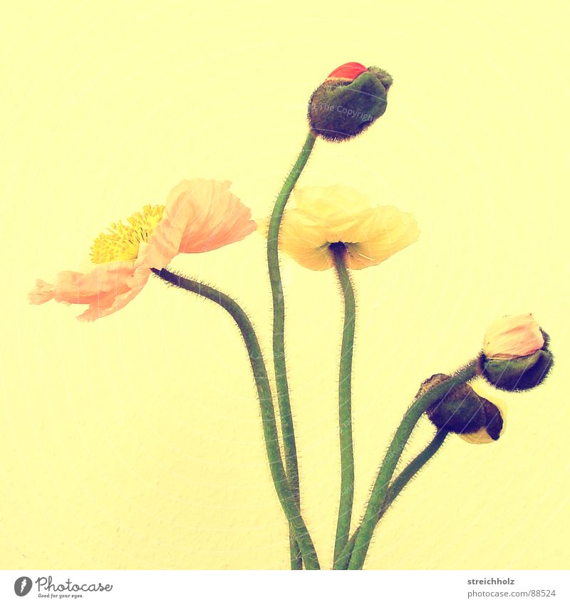 Flower Power VI Blume Freude gelb Blüte rosa Wachstum Blühend Hoffnung Mohn Blütenknospen Optimismus Stempel Pollen abstrakt Reifezeit