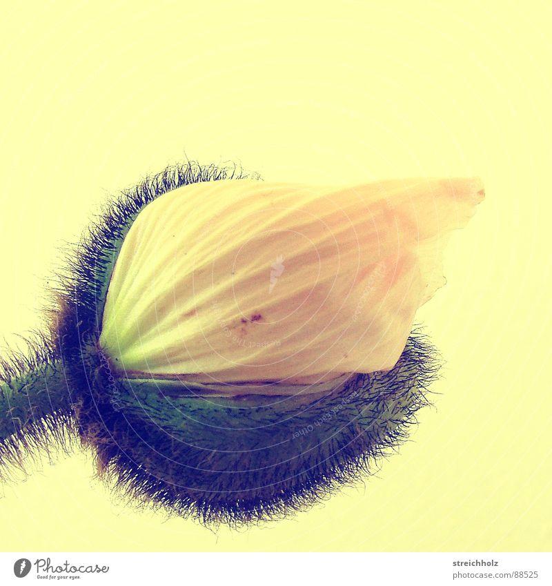 Flower Power VII Blume Hoffnung Mohn Blüte Makroaufnahme abstrakt rosa gelb Optimismus Blühend Reifezeit Wachstum Stempel Pollen Nahaufnahme Freude Glück