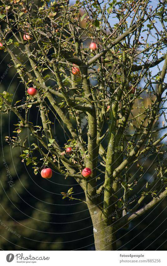 Apfelbaum im Spätherbst Baum rot Herbst Frucht Zweig Ernte reif