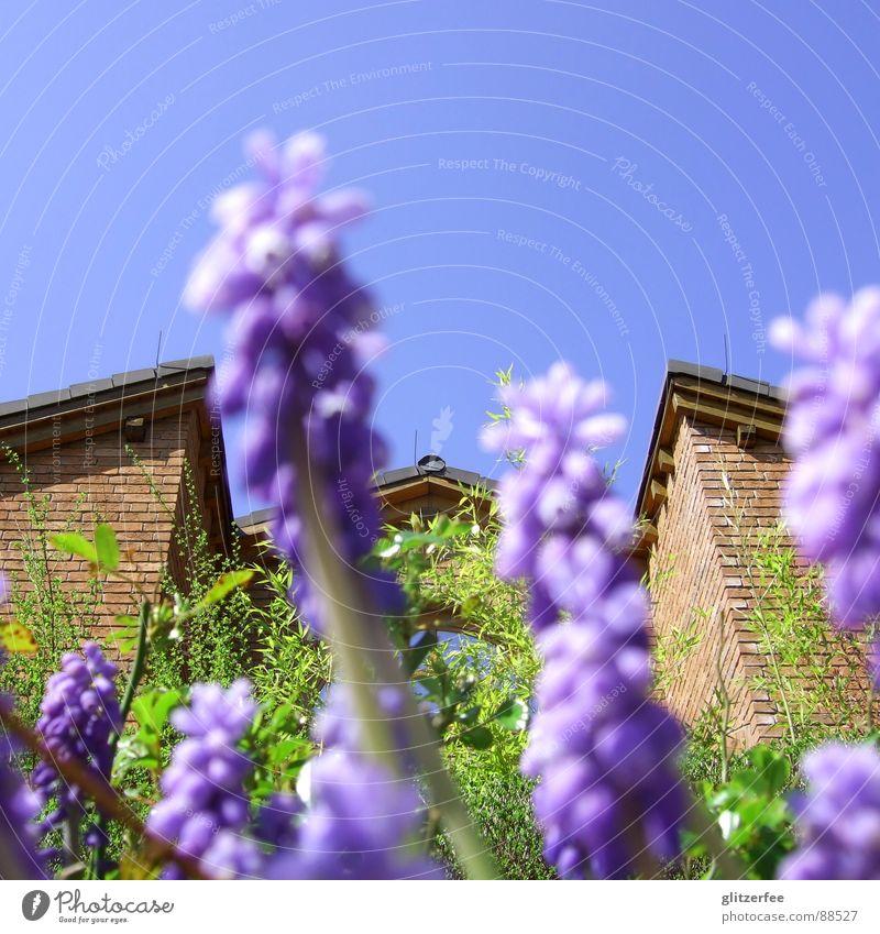 blumiger blick auf nachbars haus Traubenhyazinthe Blume Pflanze Knollengewächse violett grün Haus Backstein braun Dach Dachgiebel Nachbar Beet Frühling Fee