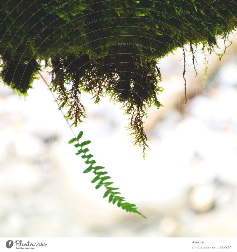 Vorwitz Natur Pflanze Moos Farn Farnblatt Urwald Alpen Schlucht Wachstum nass grün Übermut einzigartig Klima Einzelkämpfer Ausreißer Schwerkraft Erde Farbfoto