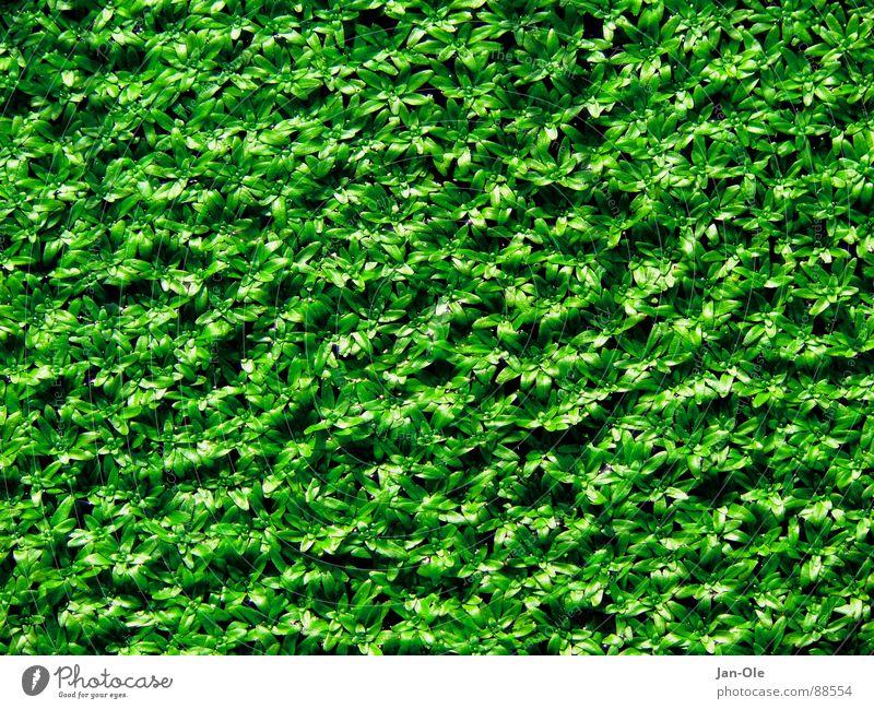 Entengrütze Natur grün frisch natürlich feucht Teich Glätte saftig gleich Moor einheitlich Sumpf unberührt